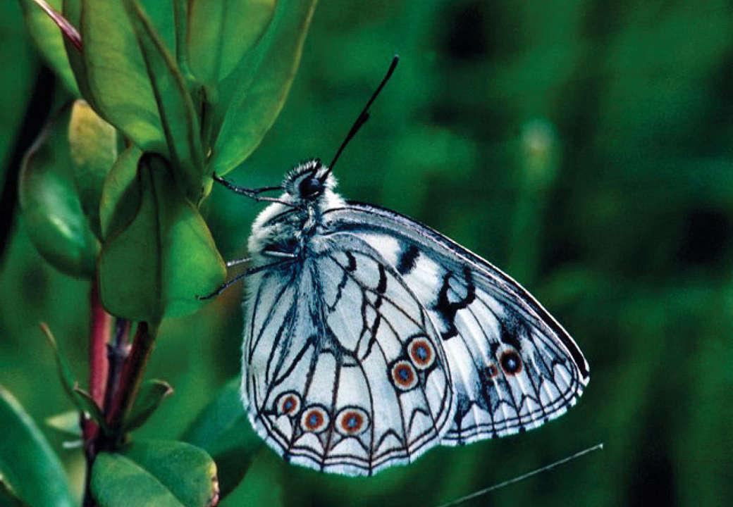 Farfalia un progetto per salvare le farfalle in pericolo for Immagini farfalle per desktop