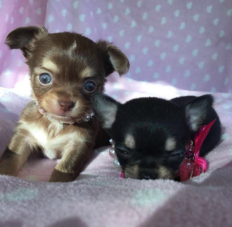 Le Caratteristiche Del Chihuahua Un Piccolo Cane Dal Grande