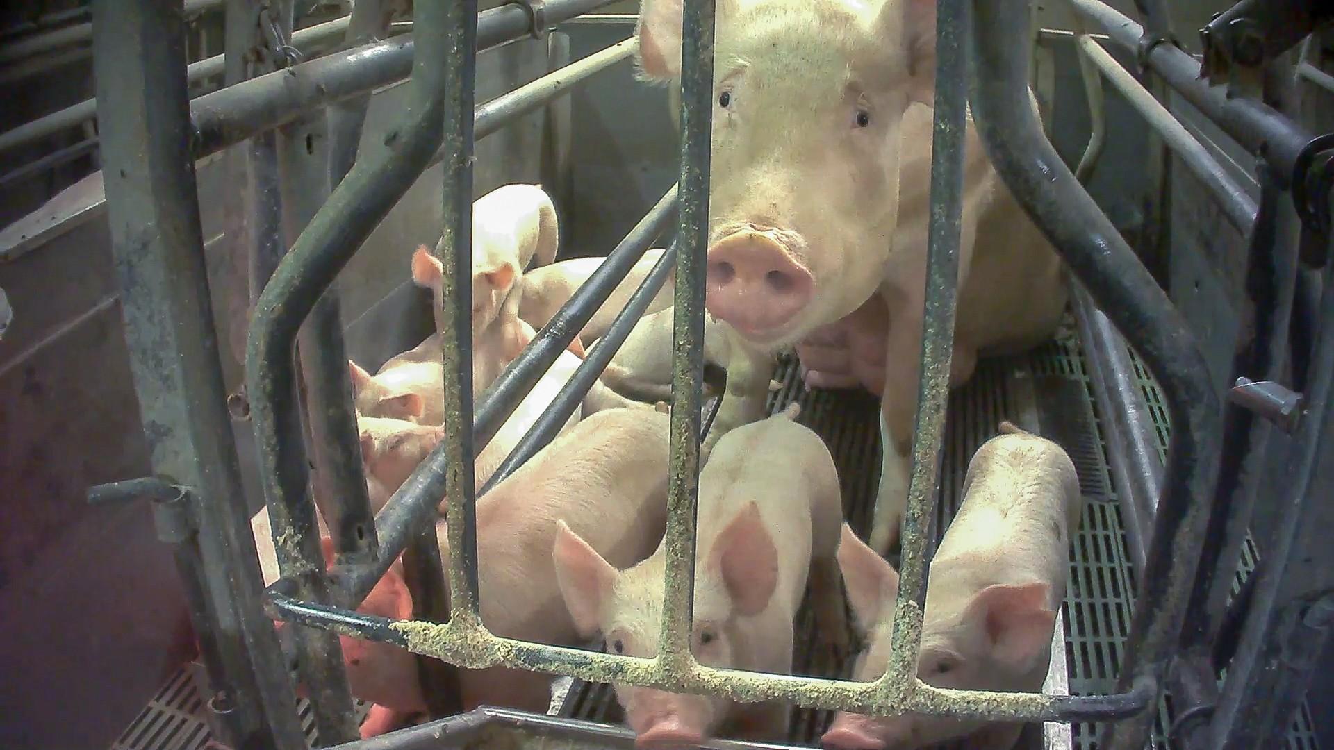 Un maiale e dei maialini in gabbia negli allevamenti dop