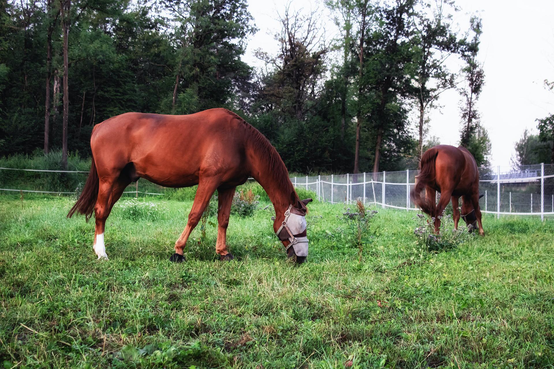 Cavalli vivi