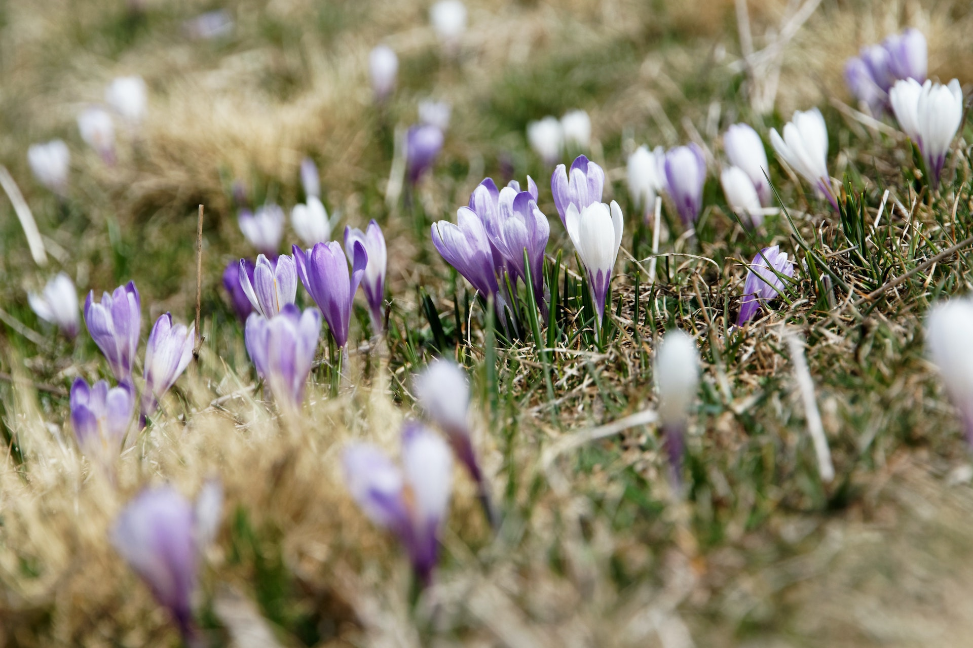 fiori montagna alpi