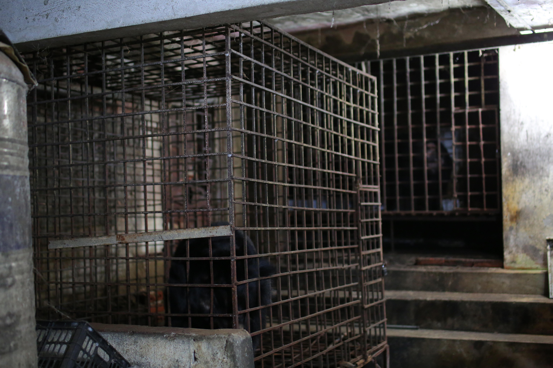 Gli orsi della luna Bo e Xuan prima di essere liberati