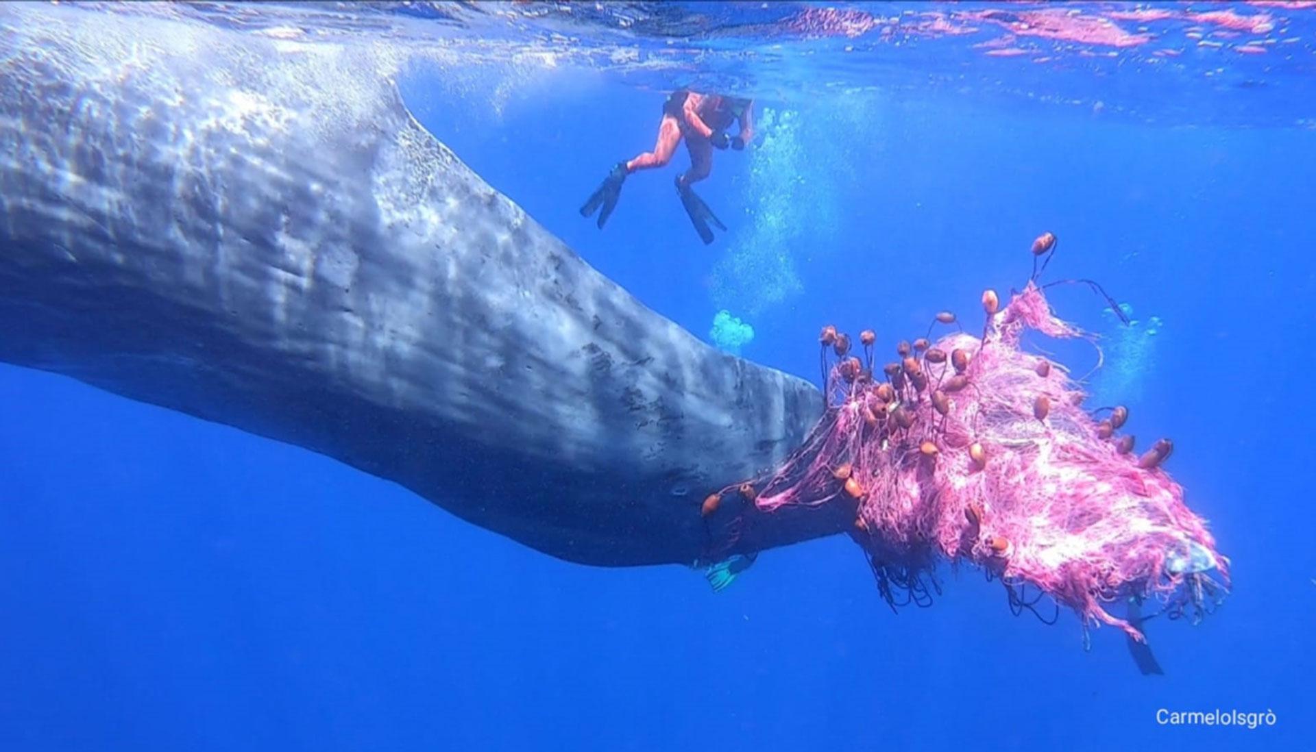 Sea Shepherd per la vita del capodoglio Furia