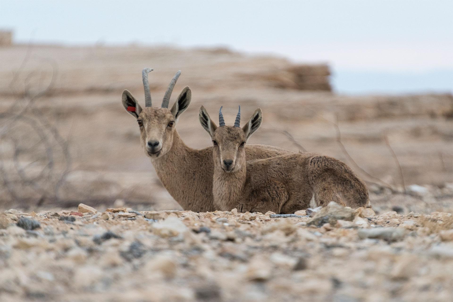 stambecchi del deserto, Sudan
