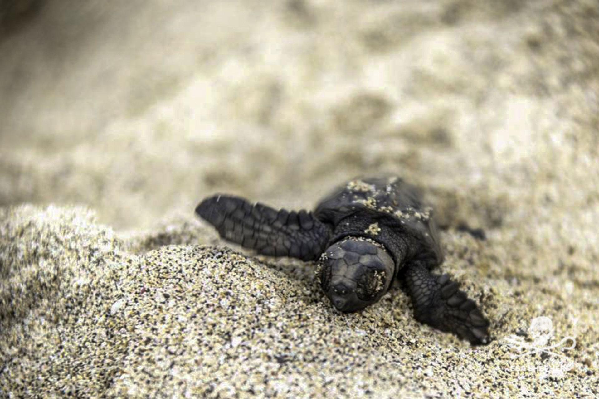 tartaruga salvata da Sea Shepherd