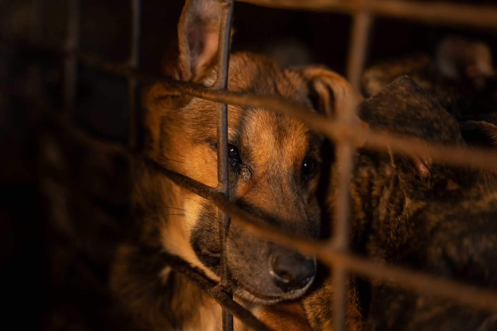uno dei cani nelle gabbie del macello in cambogia