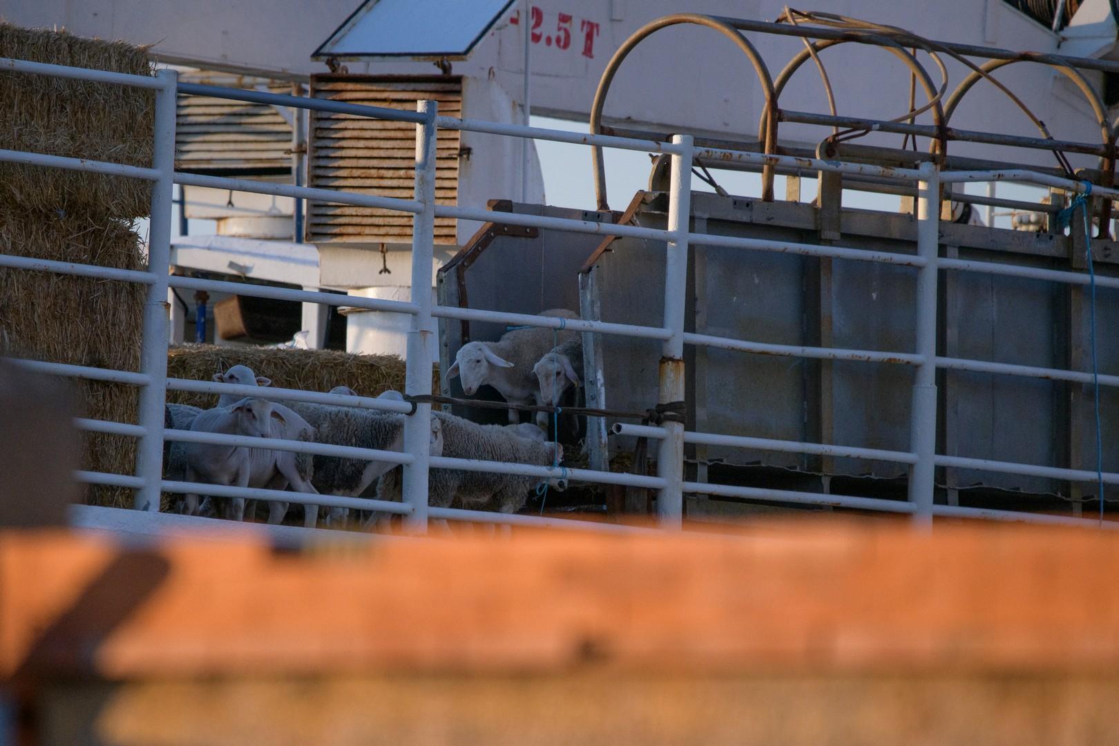 Gli animali sono costretti a utilizzare delle rampe per salire sulle navi, ma spesso sono posizionate troppo in alto, sono ripide, inadatte alle loro zampe