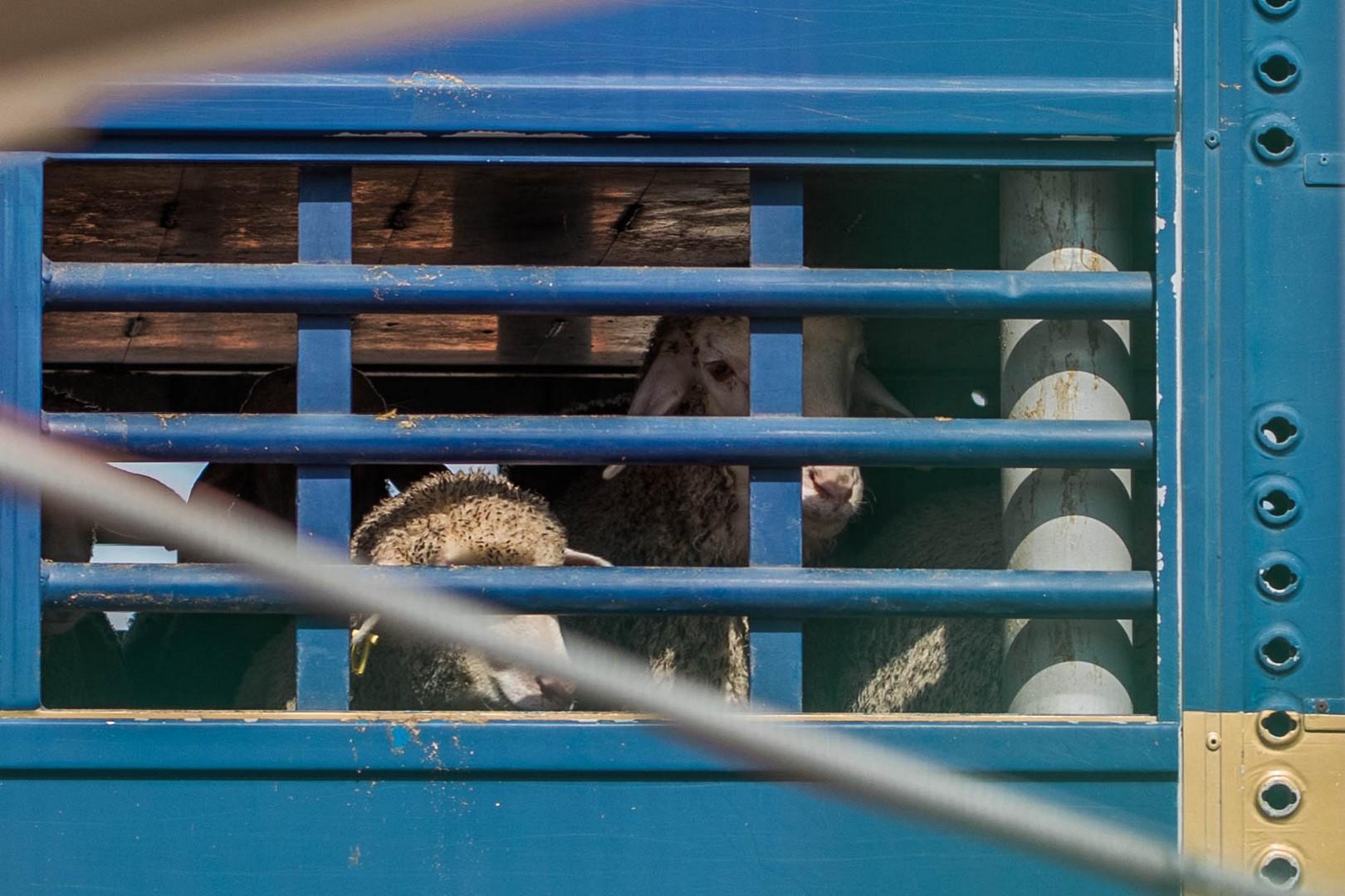 Il trasporto di animali vivi nel porto di Cartagena