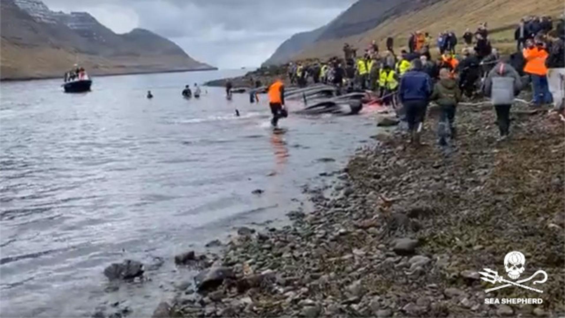 Alle isole Faroe c'è stato il primo massacro di cetacei dell'anno