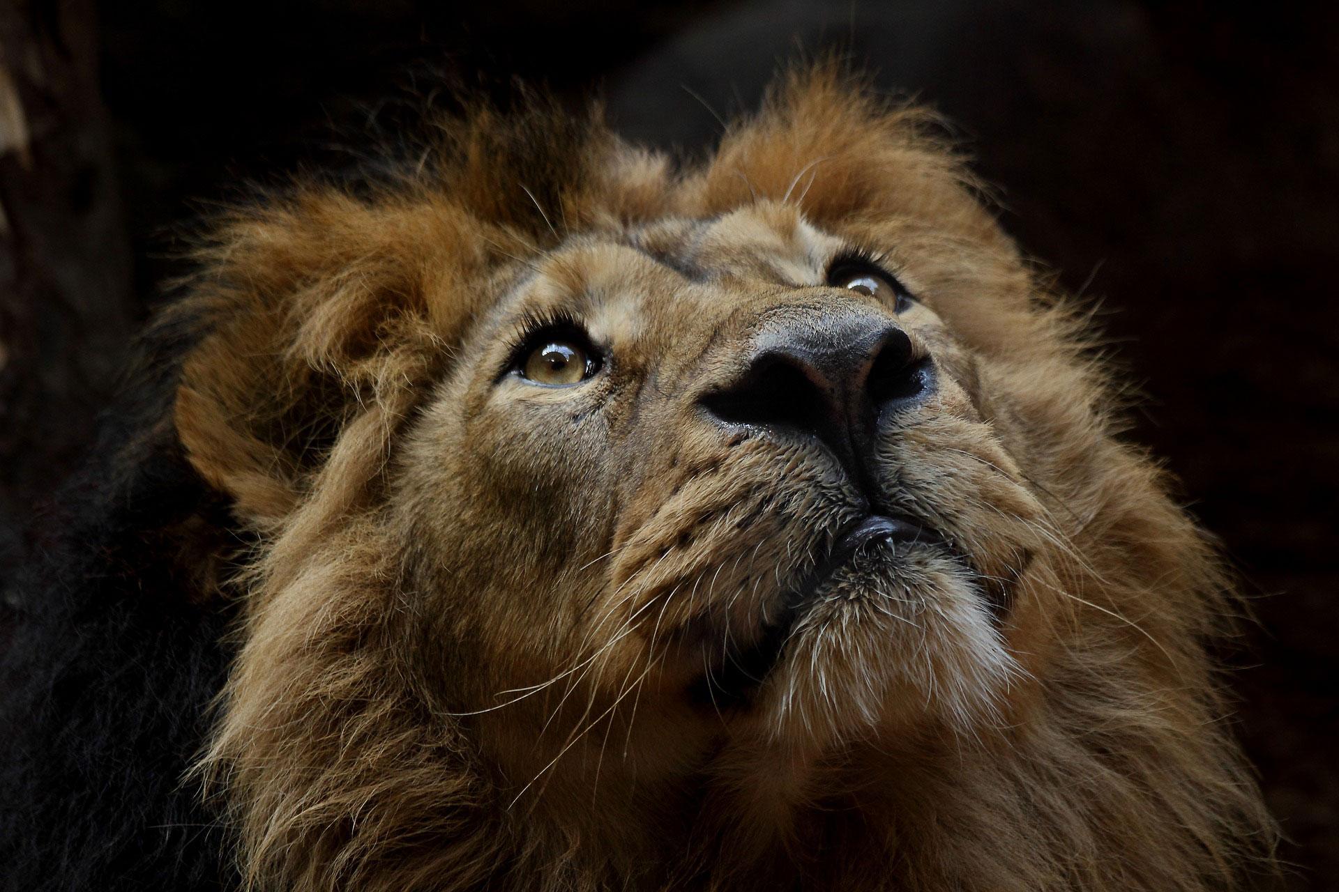 Lo sguardo di un leone