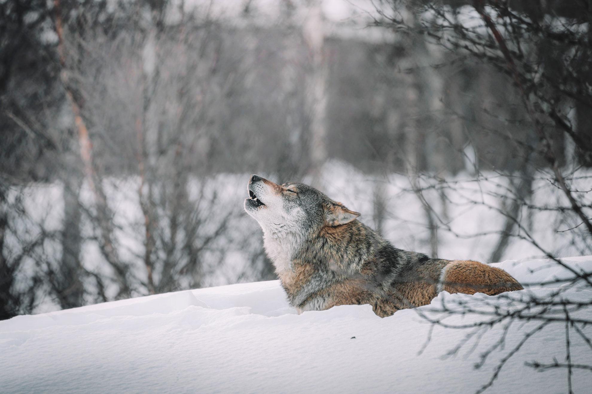 Un lupo ulula
