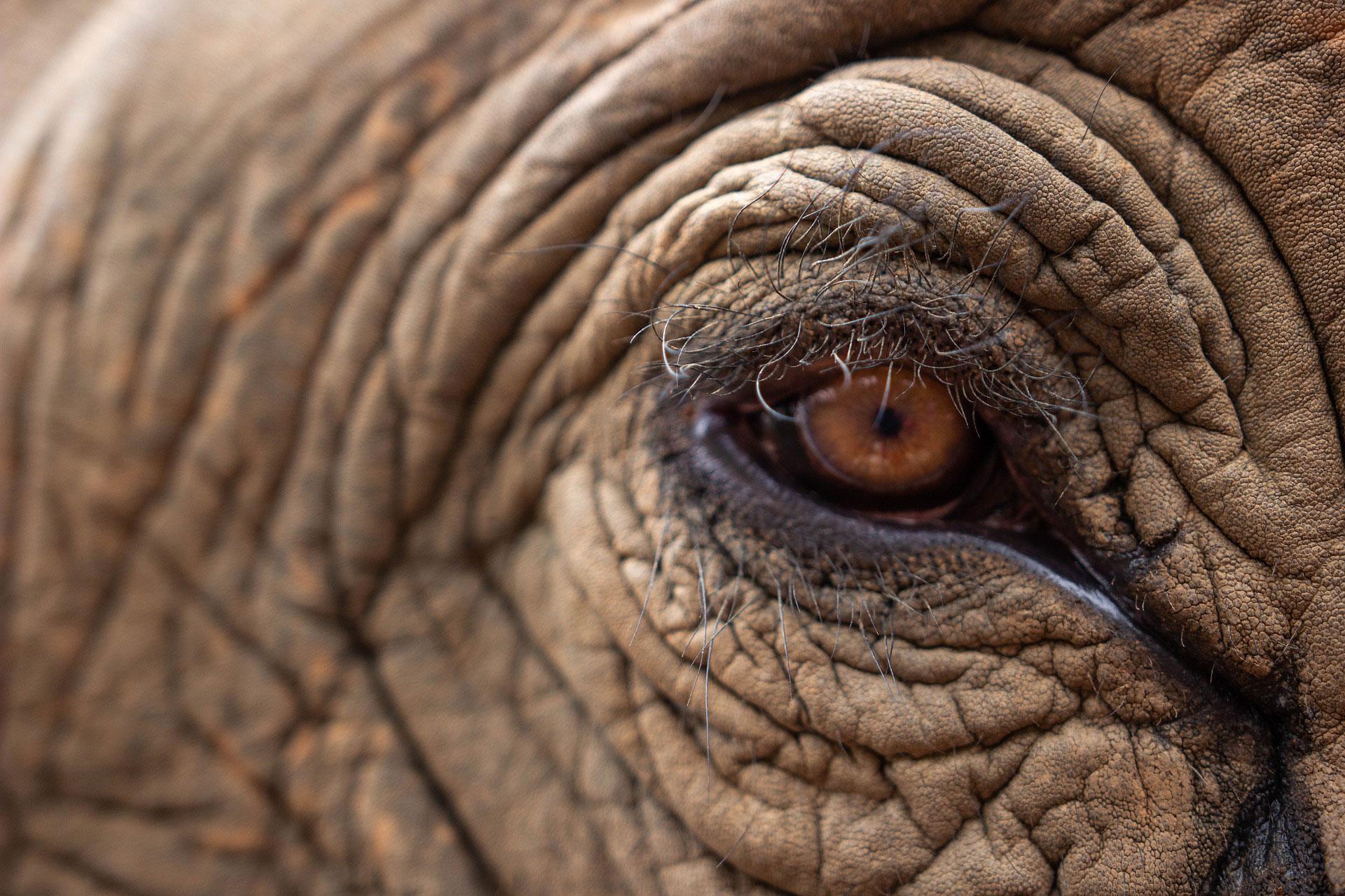 L'occhio di un elefante
