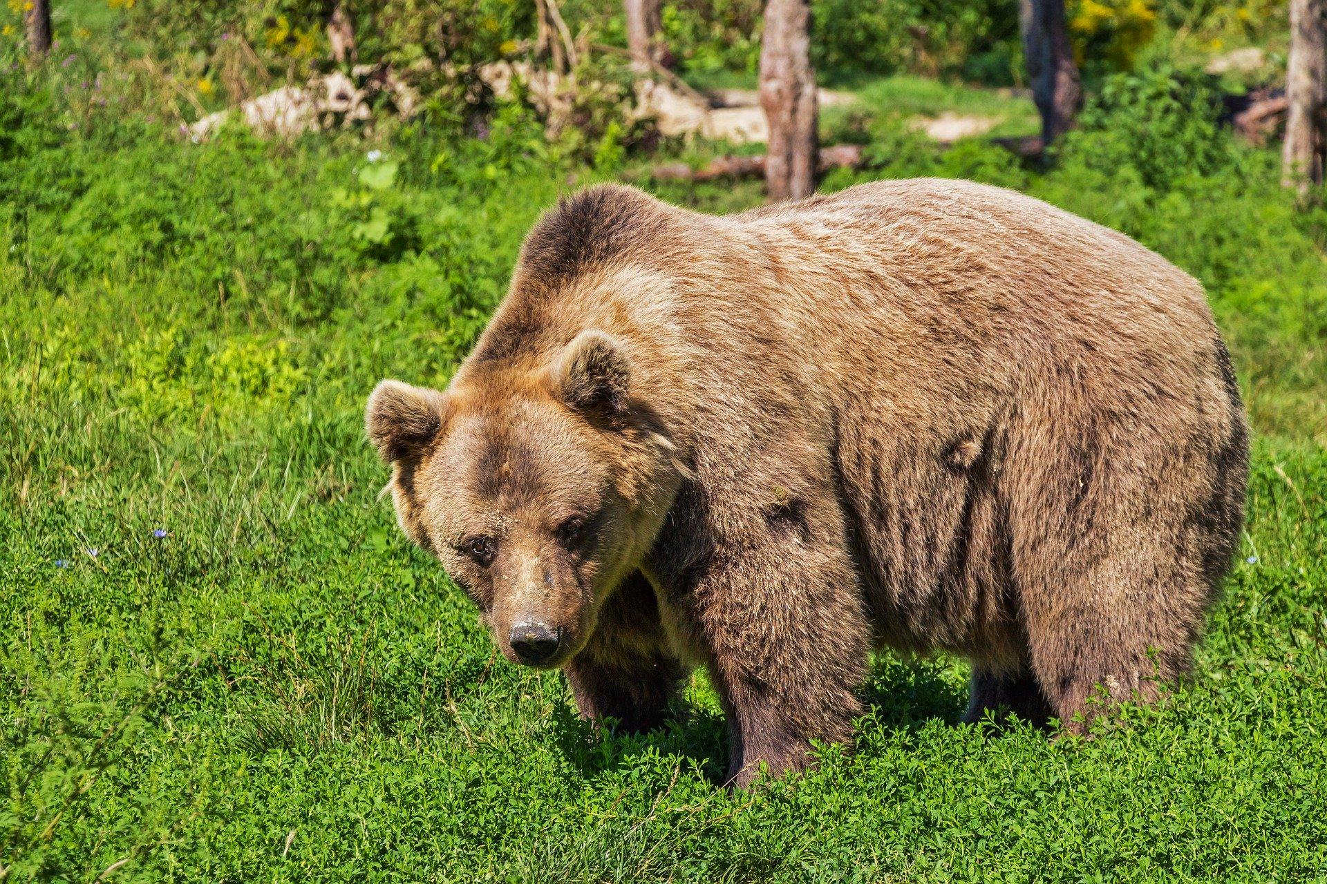 Gli orsi e il rapporto complicato con l'uomo
