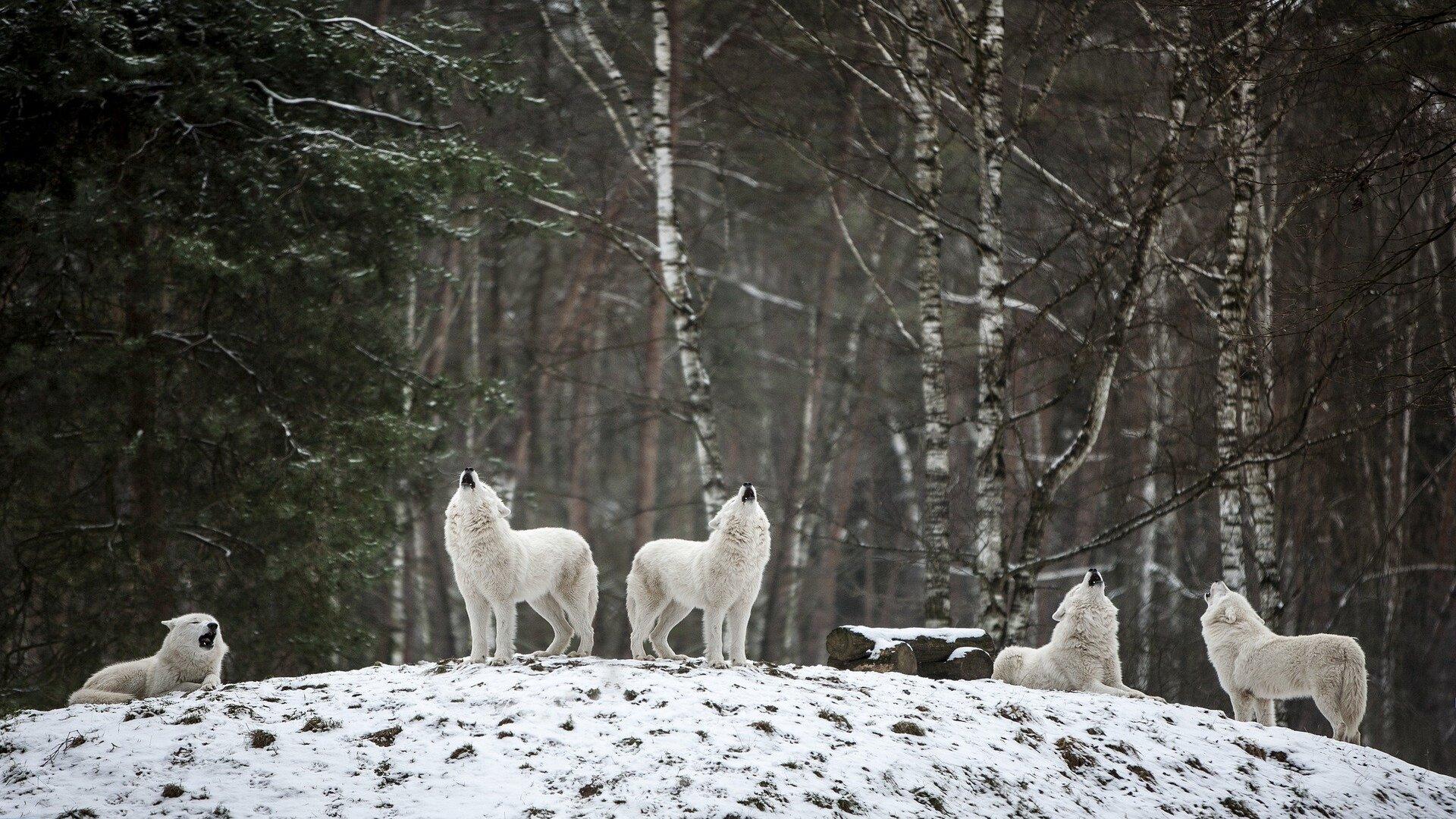 lupi artici