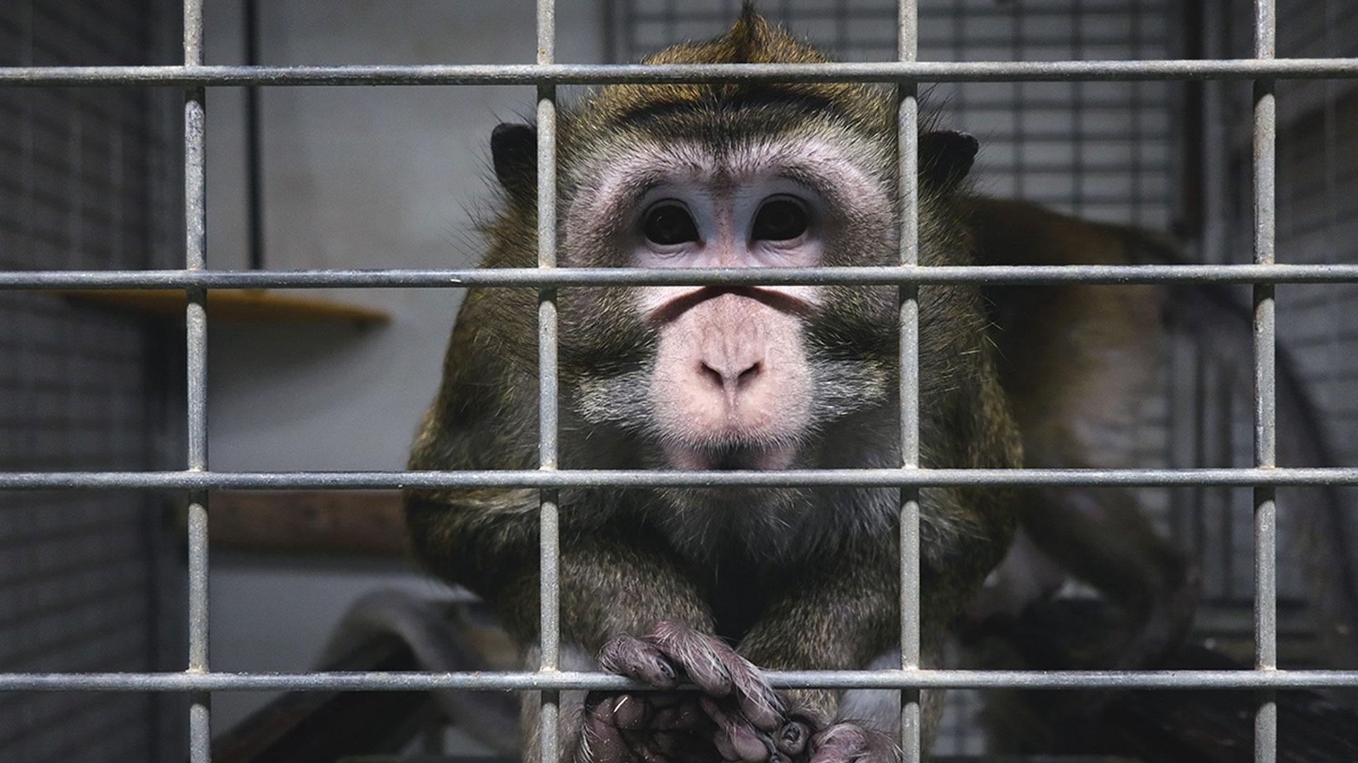 Un macaco rinchiuso in uno stabulario dove si pratica vivisezioneUn macaco rinchiuso in uno stabulario dove si pratica vivisezione