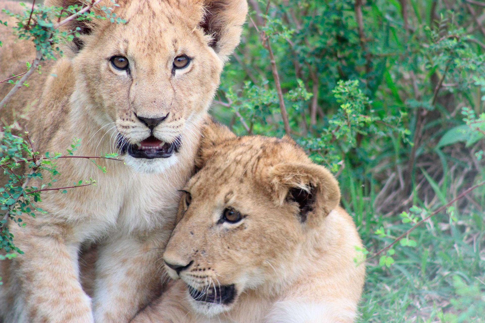 cuccioli di leone africano
