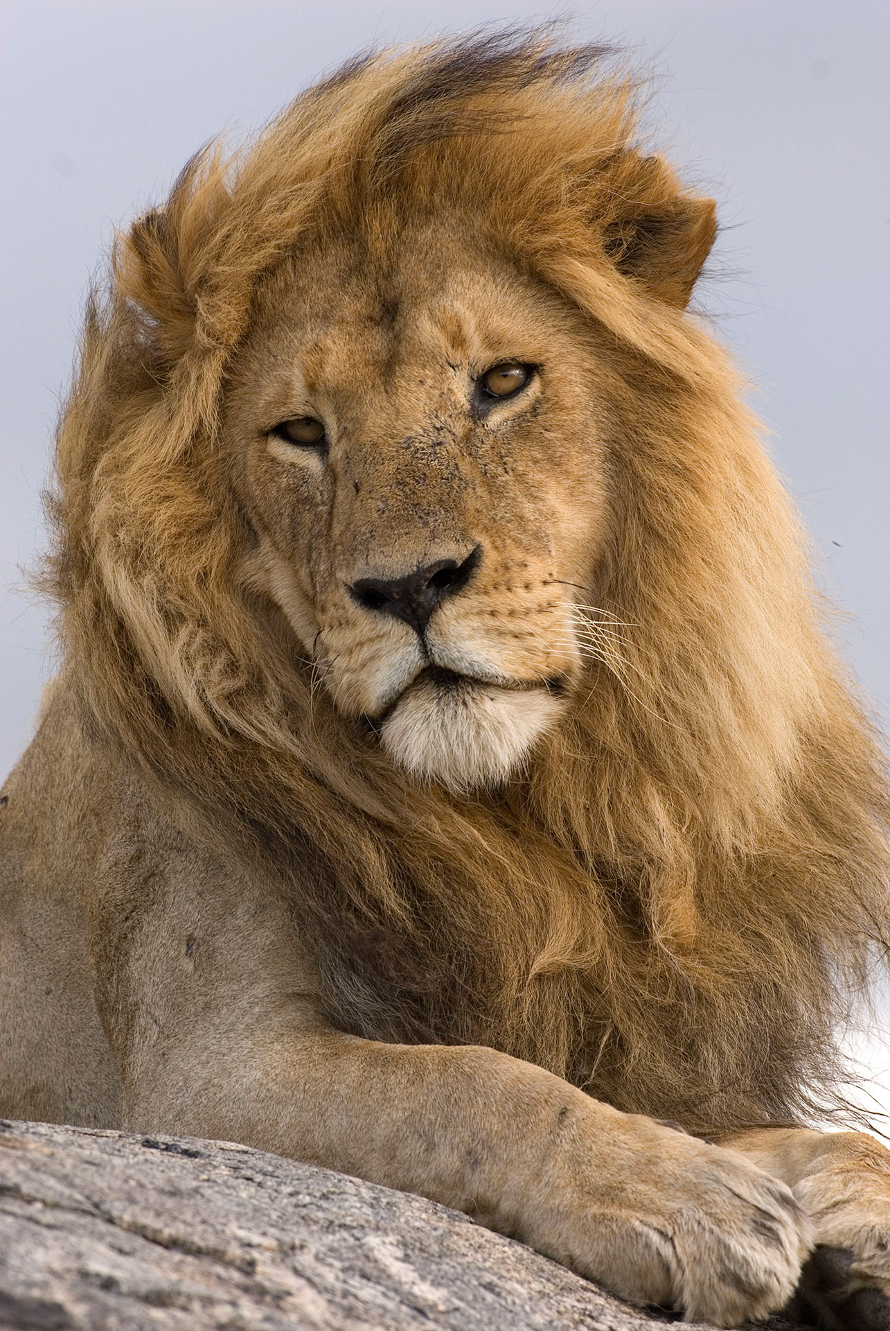 leoni africani