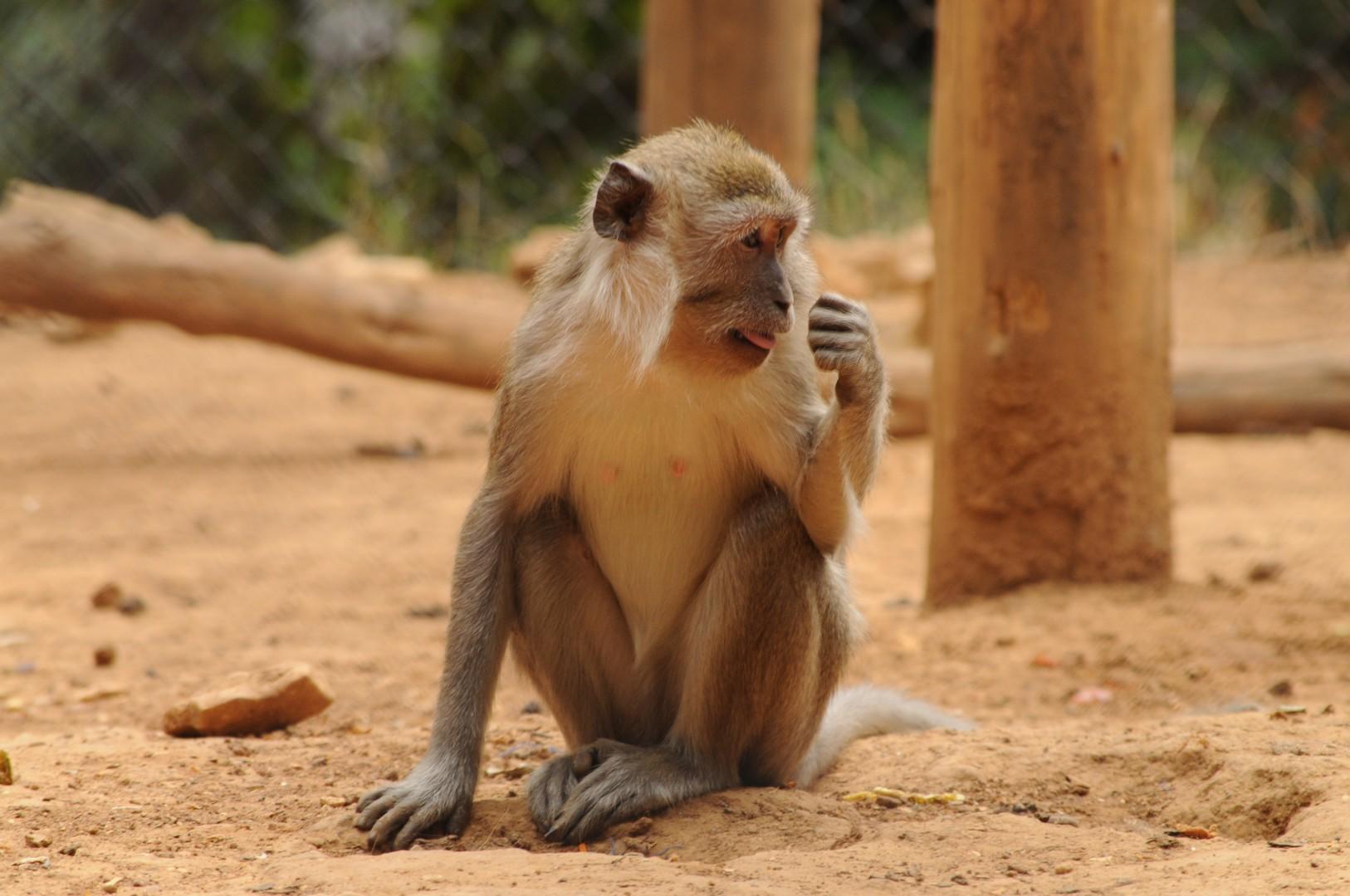 macaco a semproniano salvato da vivisezione