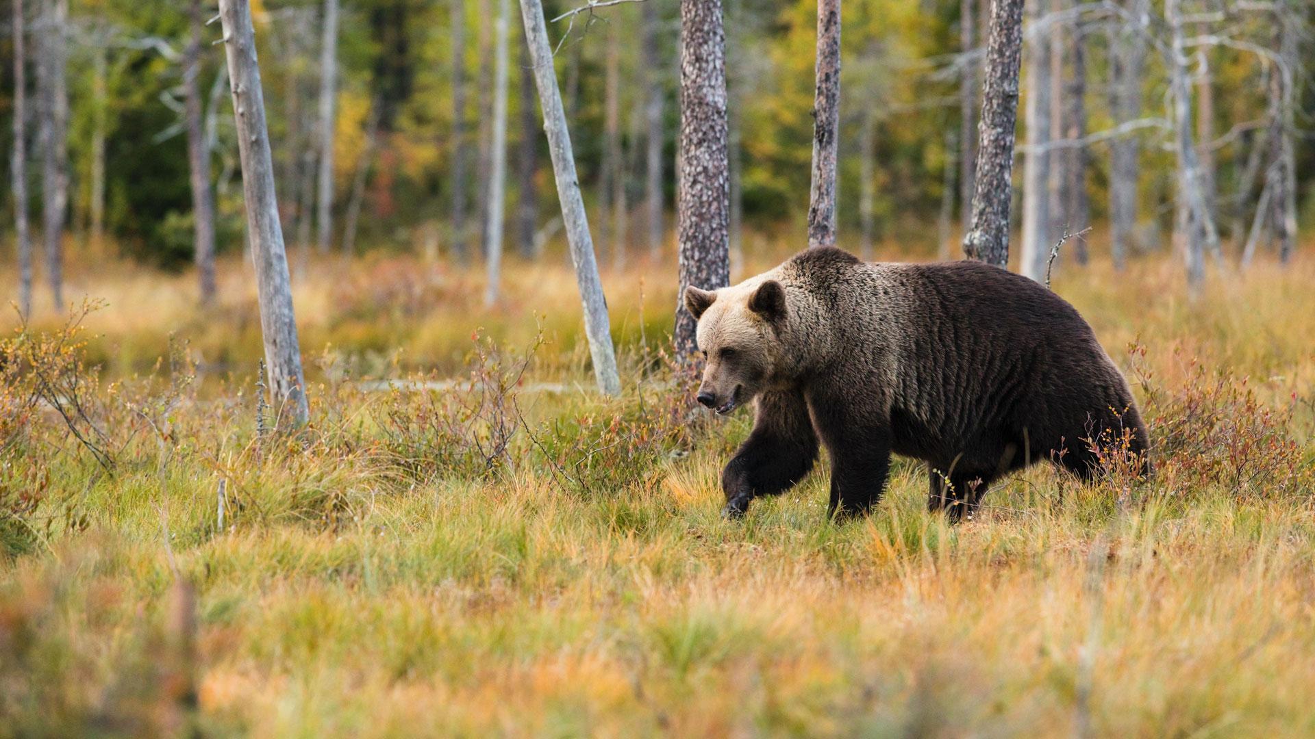 Il più grande orso bruno della Romania è stato abbattuto