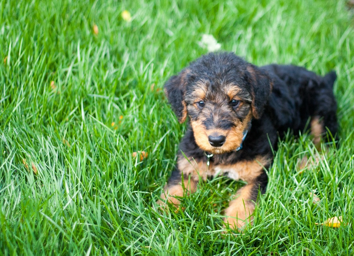 The Airedale Terrier Club of Victoria Inc was established in 1929 and is believed to be the second oldest pure breed dog club in Victoria The Airedale Terrier Club