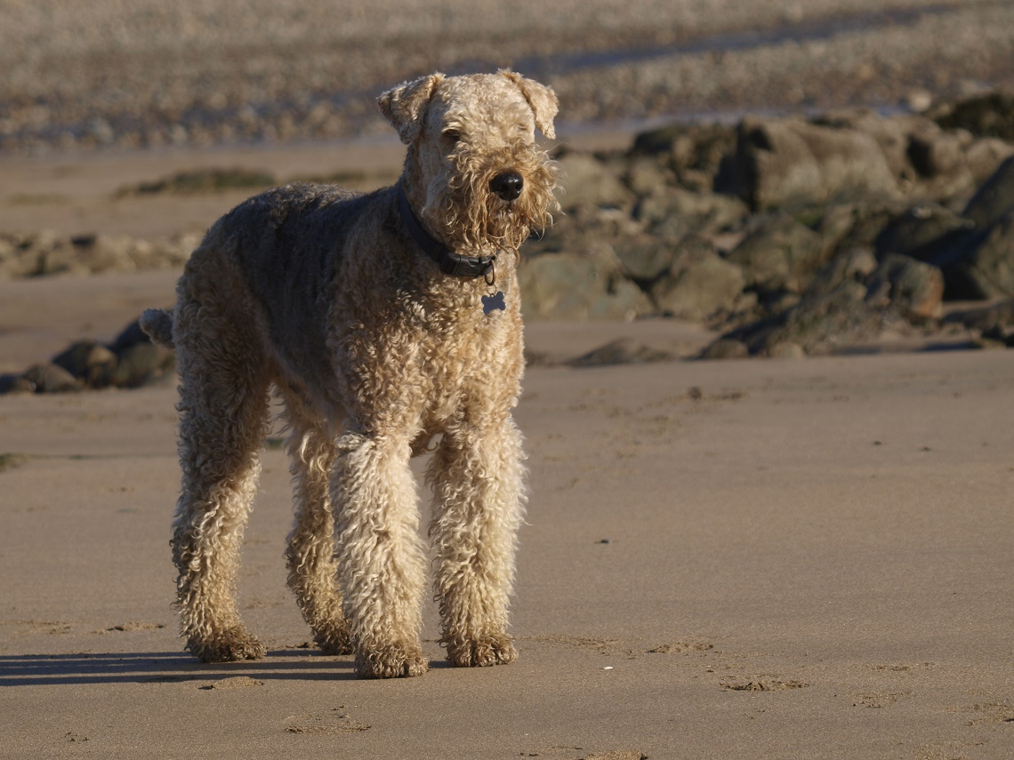 Airedale terrier in spiaggia