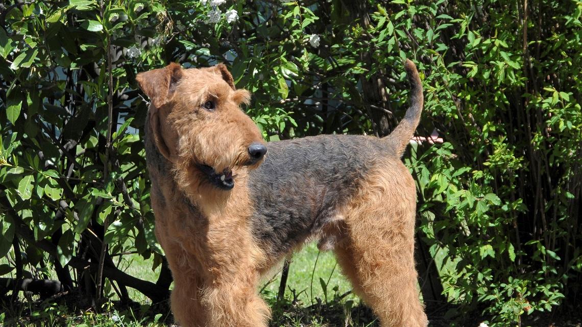 Airedale terrier carattere e caratteristiche del cane for Affettuoso in inglese