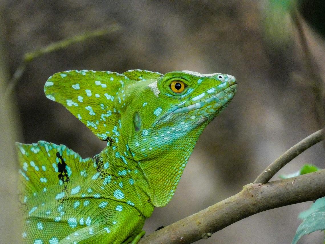 Basilisco piumato in Amazzonia