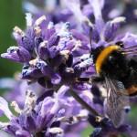 10 piante da coltivare per attirare le api e nutrirle - Bumble bee pictures a colori ...