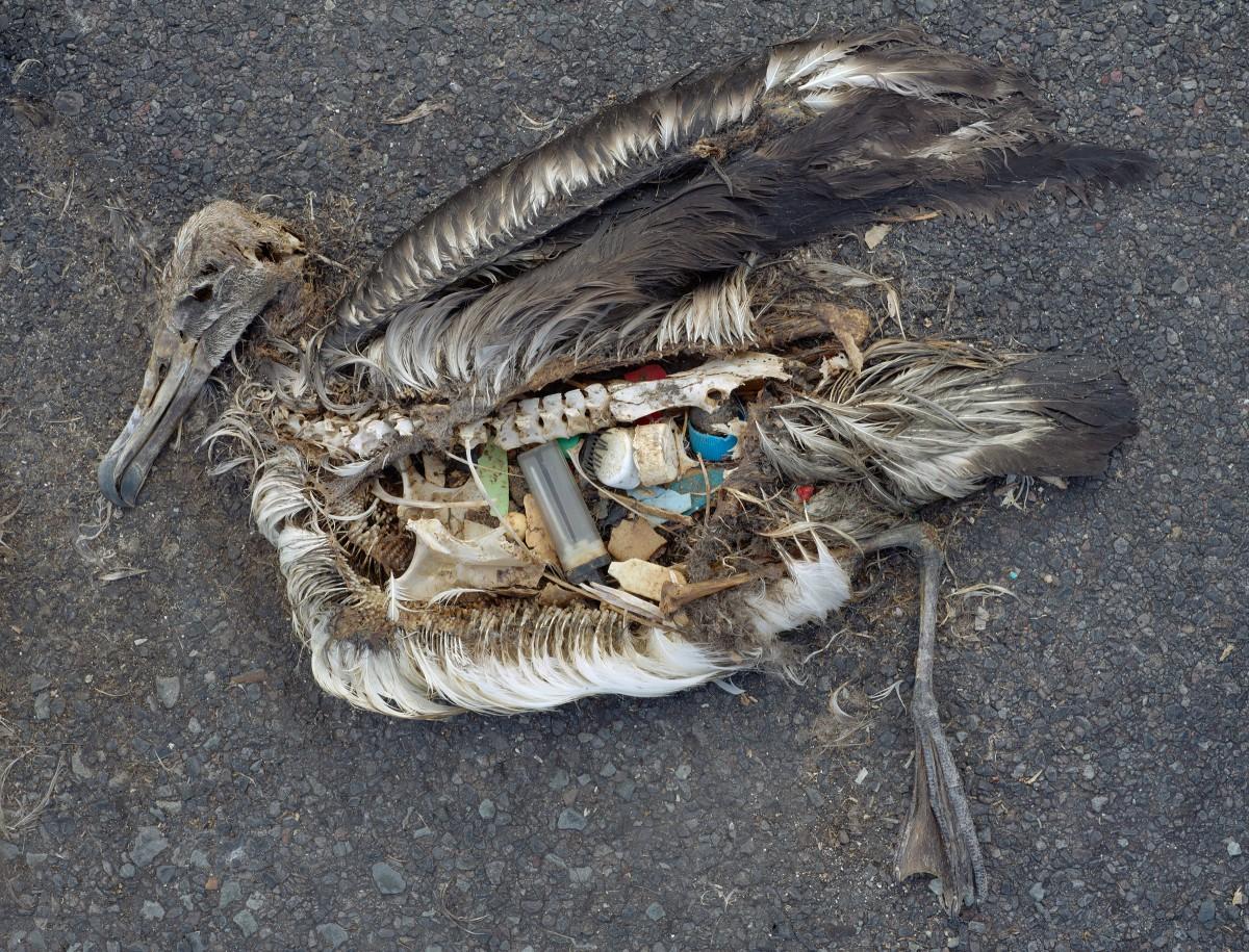 Un albatross pieno di plastica sull'isola di Midway, nel Pacifico