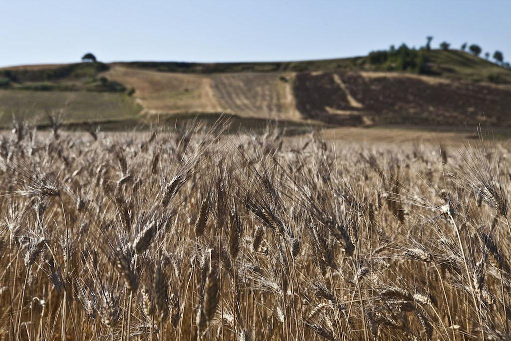 goditi il miglior prezzo economico per lo sconto store Senatore Cappelli: quando il grano è antico, biologico e ...