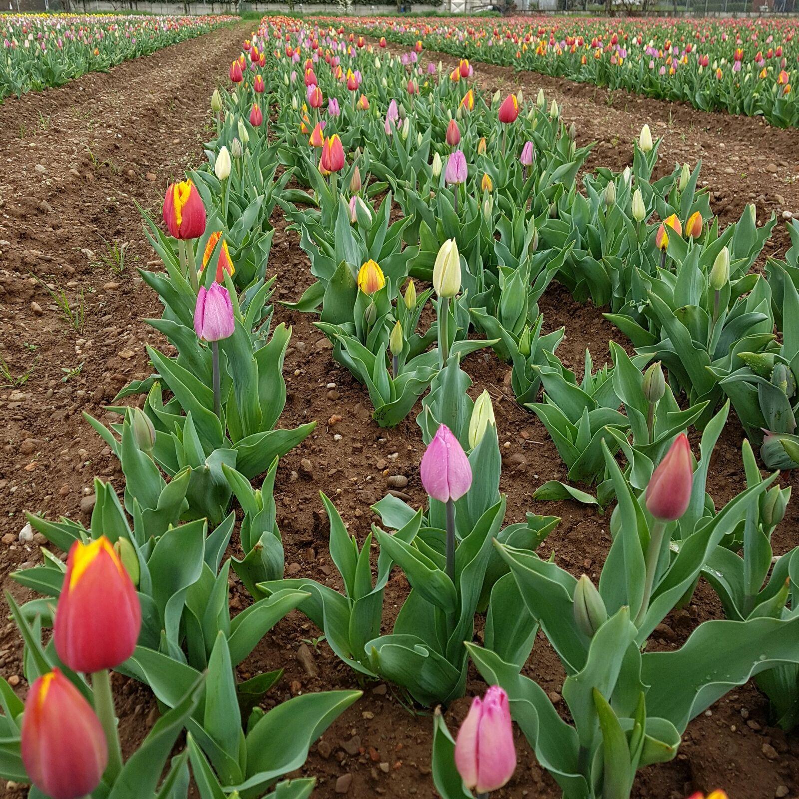 Alle porte di milano pronti a sbocciare 350mila tulipani for Tulipani italiani