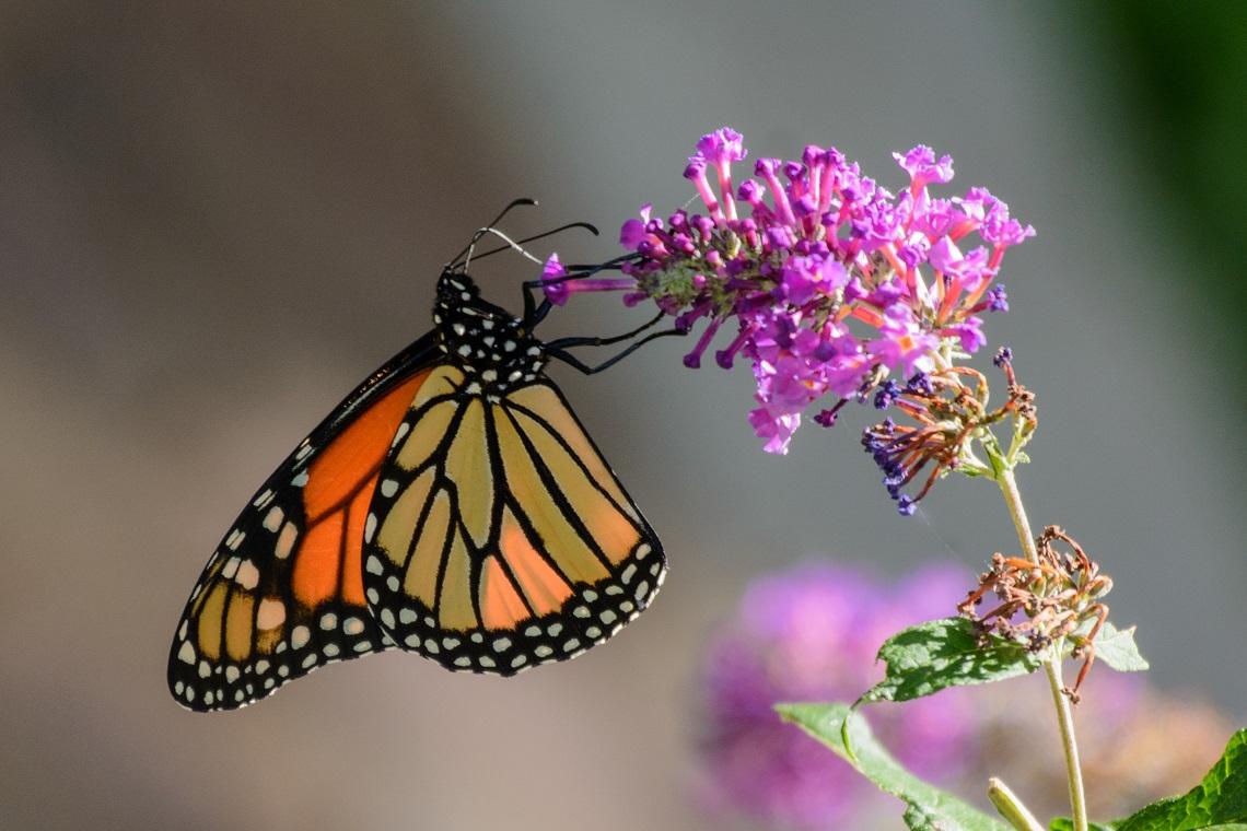 Farfalle: I Cieli Della California Perdono Colore. Dove Sono Finite