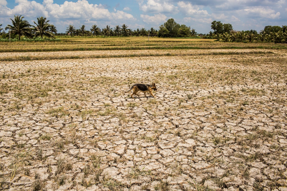 BEN TRE PROVINCE, VIETNAM - MAY 04: A dog walks over a drought hit plot of land on May 04, 2016 in Ben Tre Province, Vietnam.  Vietnam's Mekong Delta had been hit by its worst drought in 90 years caused by the El Nino weather patterns and hydroelectric dams. Based on reports, nearly 140,000 hectares of the Mekong Delta in Vietnam are bone dry and contaminated by salt water, as brine from the sea pushes up the delta's channels. People in affected regions are growing desperate to find water for basic needs and huge amount of the crops for the coming harvest in Vietnam's Mekong Delta, which produces about half of the country's rice, have been spoiled.   (Photo by Christian Berg/Getty Images)