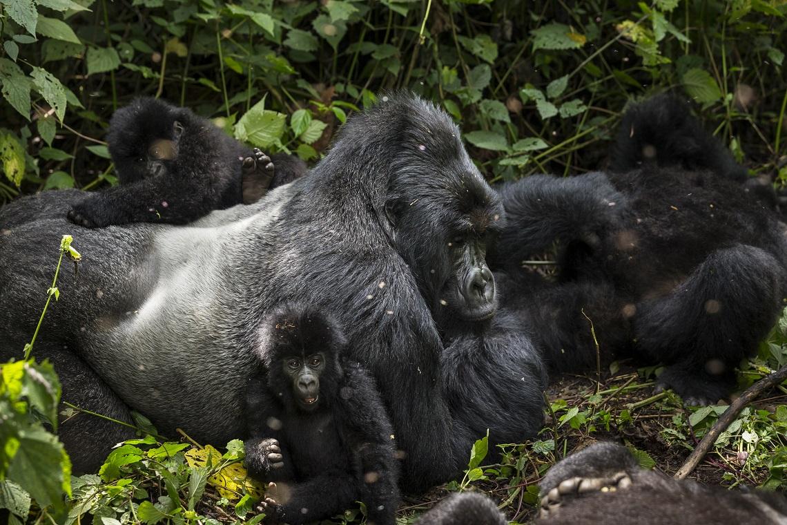 Gruppo familiare di gorilla di montagna nel parco di Virunga. Leonardo DiCaprio