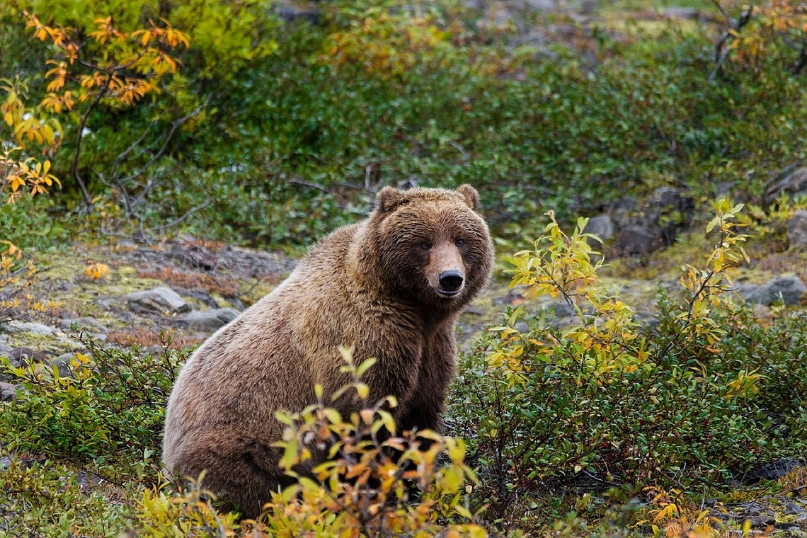 Orso grizzly in Alaska