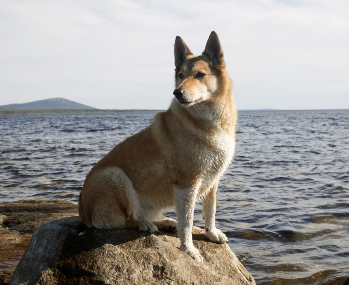 Hunting dog on a rock by the sea