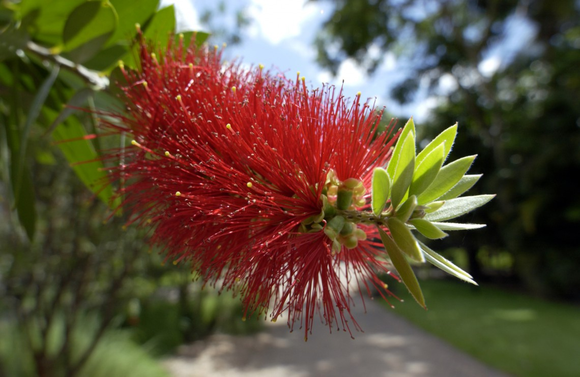 Fiore Bottlebrush