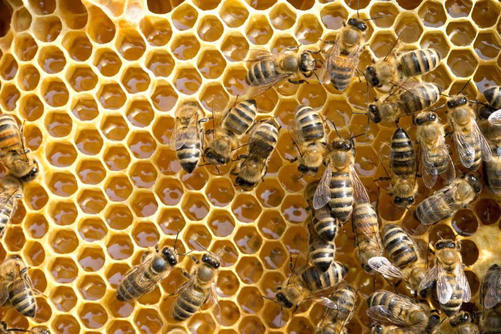 api morte