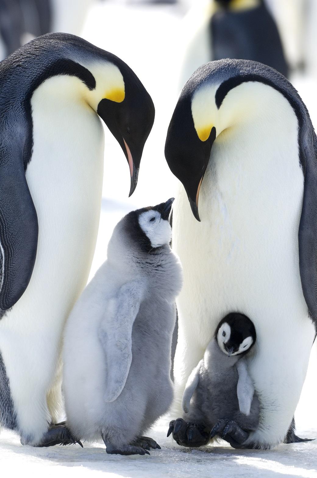 La marcia dei pinguini 2 il viaggio straordinario dell - Pinguini di natale immagini ...