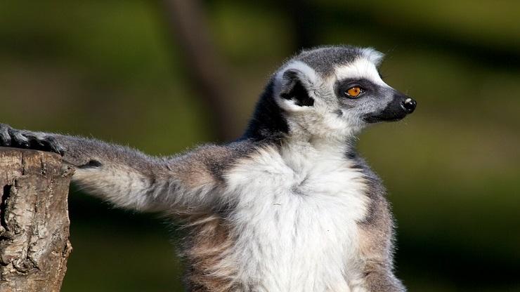 Oltre il dei lemuri rischia l estinzione lifegate