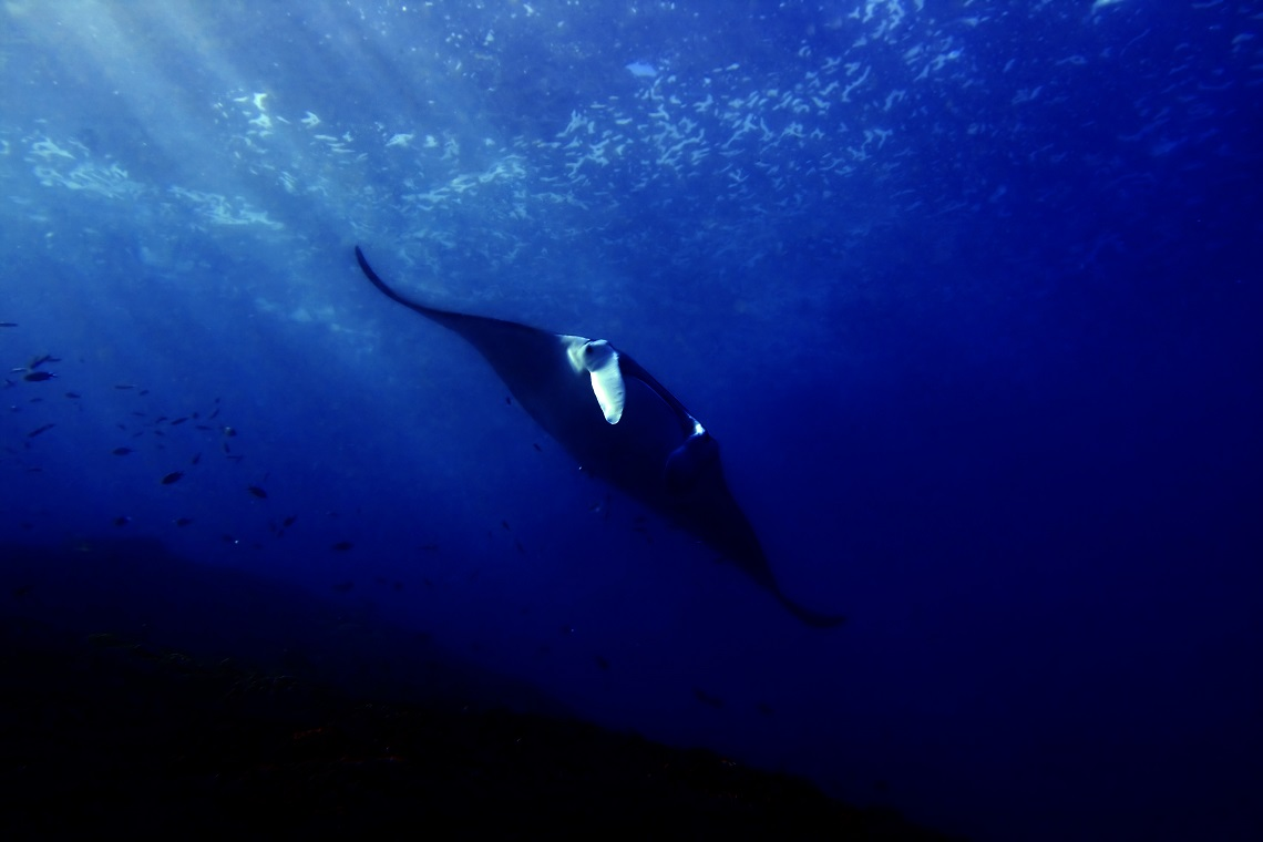 Manta in Indonesia
