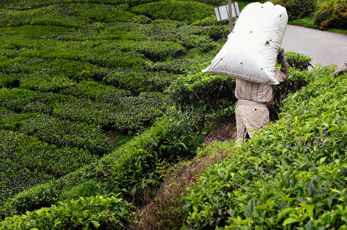 tea plantations workers