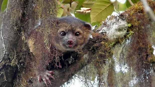 Olinguito - the newly discovered mammal