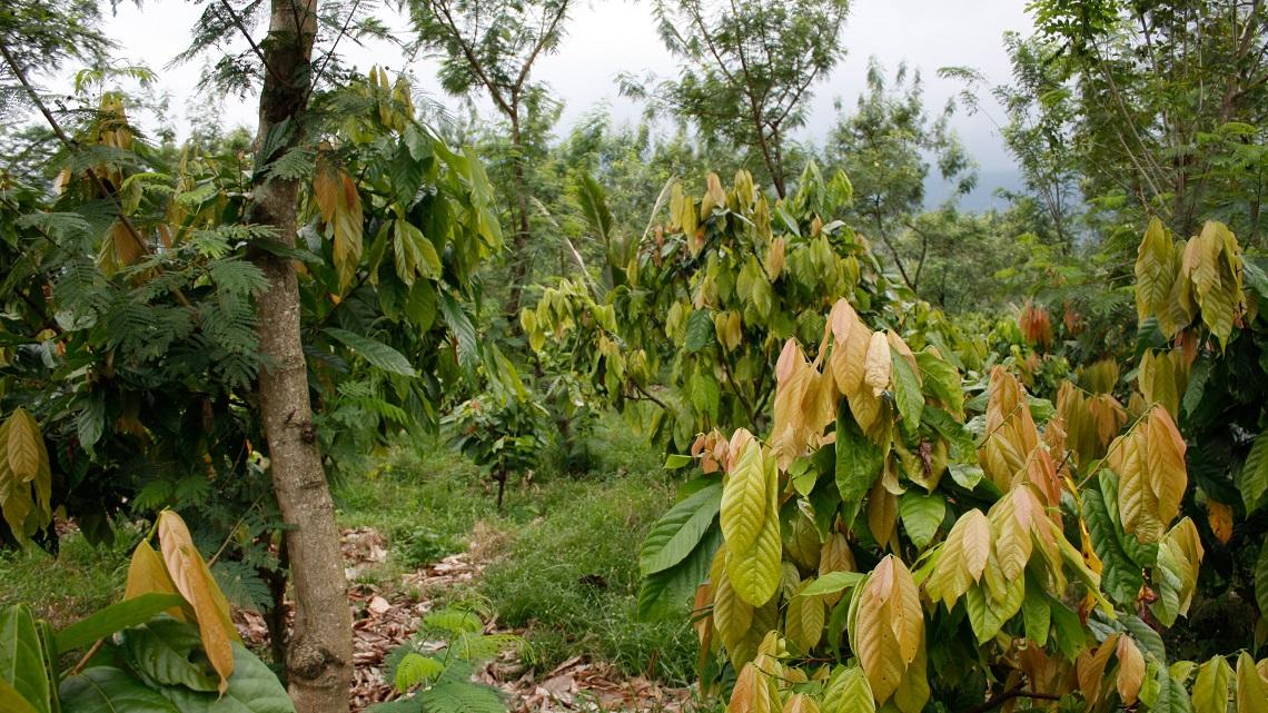 Ghana Festeggiano I Coltivatori Di Cacao E Le Foreste Il Governo