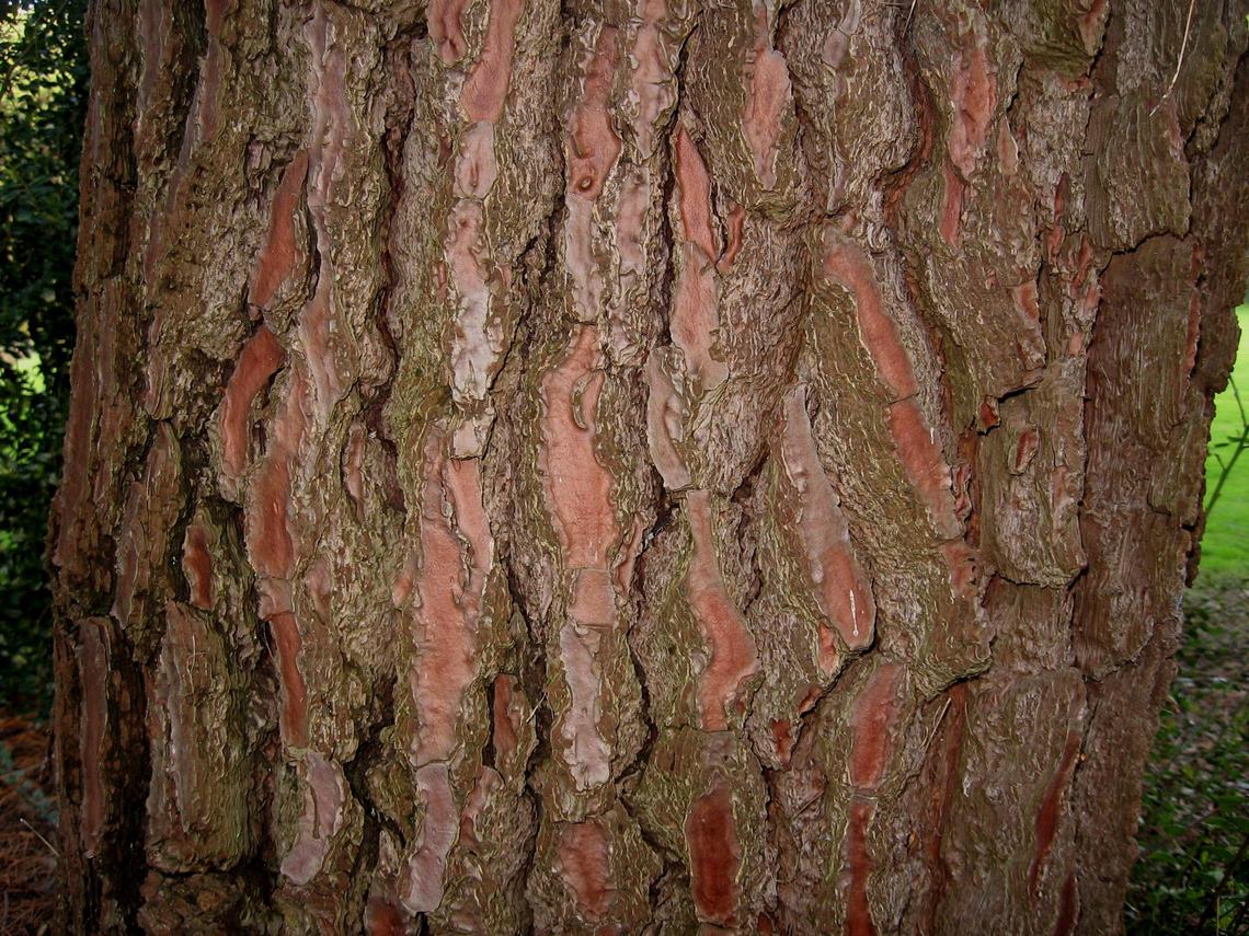 La corteccia del pino marittimo aumenta la fertilità.