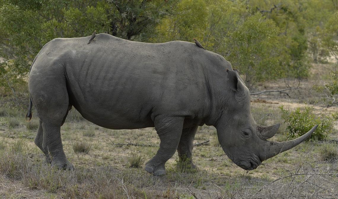 Rinoceronte osservato durante un safari in Sudafrica