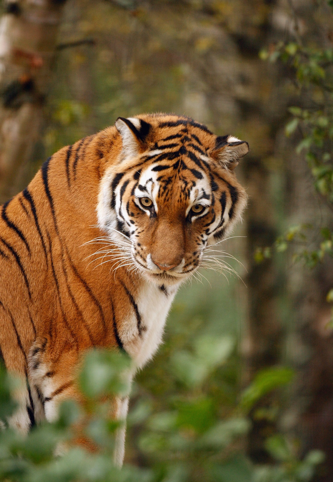Tigre dell'Amur nel Highland Wildlife Park in Scozia