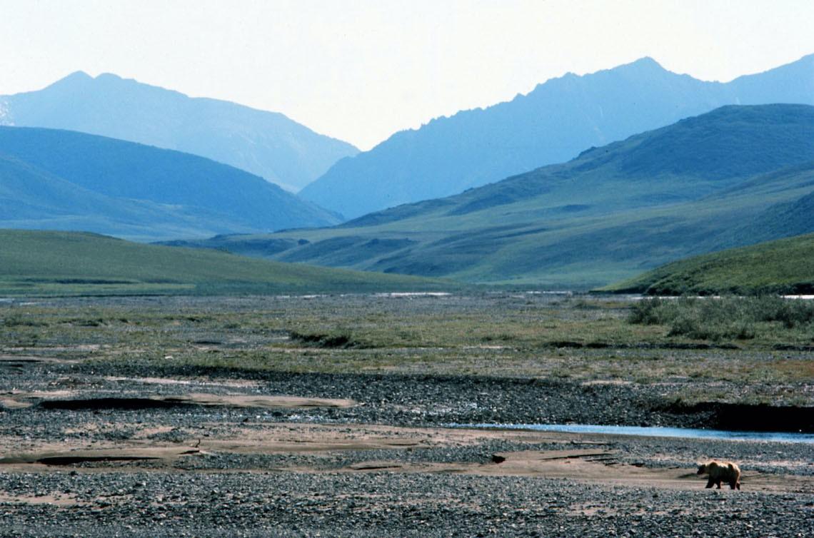 Alaska, una miniera minaccia l'habitat naturale di migliaia di orsi