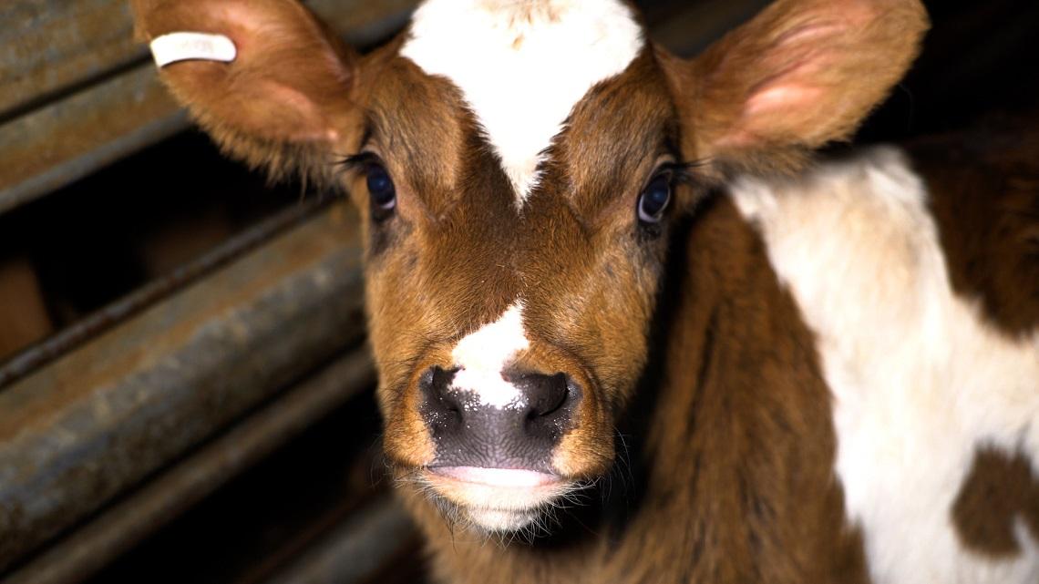 Dominion, il documentario che squarcia il velo sul nostro rapporto distorto con gli animali