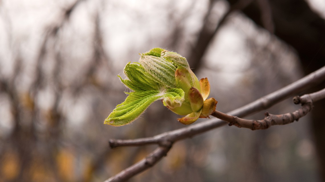 white chestnut bud
